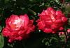 Edelrosen 'Rittertum' (Wolfgang Bazer) Tags: edelrose edelrosen rittertum hybrid tea roses rose rosen volksgarten wien vienna österreich austria