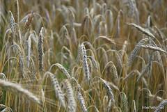 Пшениця, жито, овес InterNetri  Ukraine 036