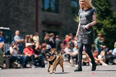 PugCrwal-99 (sweetrevenge12) Tags: portland oregon unitedstates us pug parade crawl brewing sony pugs dog pet