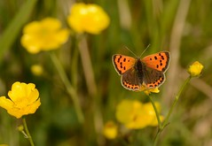 Small Copper Butterfly (Severnrover) Tags: small copper butterfly buttercup meadow insect macro d7100 nikon camera sigma lens