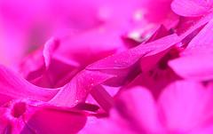 pollen dust on purple (Thomas Rausch (!)) Tags: macromondays allnature pollen dust pollendust blütenstaub blume lila purple macro closeup focusstack focusbracketing pink wow monochrome