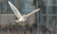 Barn Owl (KHR Images) Tags: barnowl barn owl tytoalba wild bird birdofprey cambridgeshire fens wildlife nature nikon d500 kevinrobson khrimages
