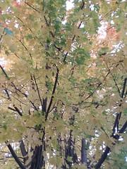 11-05-17 Dayton 61 leaves, fall color (Chicagoan in Ohio) Tags: dayton clouds sun sunhalo leaves fallcolor