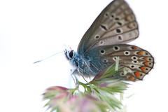 interrupted brightness (bkellerstrass) Tags: hauhechelbläuling schmetterling gegenlicht wiese insekt gras grashalm makro butterfly macro meadow insect specinsect