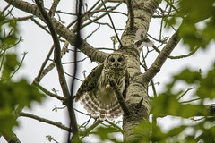 Barred Owl and a pest..... (Kevin Povenz Thanks for all the views and comments) Tags: 2018 may kevinpovenz westmichigan michigan ottawa ottawacounty ottawacountyparks grandravinesnorth nature woldlife outsode outdoors canon7dmarkii sigma150500 barredowl owl bird birdsofprey