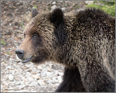 Highway Grizzly 3934 (maguire33@verizon.net) Tags: grizzly grizzlybear yellowstone yellowstonenationalpark yellowstoneriver bear wildlife wyoming unitedstates us