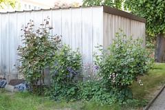 Duftrosen Mitte Mai (blumenbiene) Tags: rose rosen duftrose duftrosen rosa gelb westerland lichtkönigin lucia garden garten roses plant summer sommer pflanze flowers flower blüte blüten knospen buds