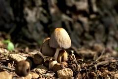 Mushrooms (David Bertholle) Tags: mushrooms champignons terre sol brown marron nature macro makro sigma closeup