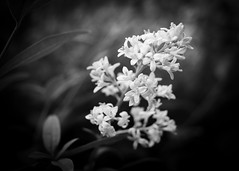 the surprisingly blossoming hedge (karsten-the-coleoid) Tags: zeiss flektogon a7rii sony carlzeiss manuell bw sw flowers blossom hedge hecke