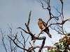Whistling Kite (AdamsWife) Tags: whistlingkite raptor haliastursphenurus bird birdwatcher birdwatching australia westernaustralia tree birdofprey kite