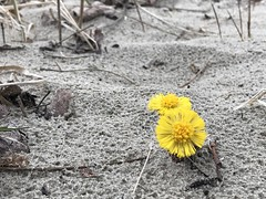 happiness is the first flower on a sand dune (m_big_b) Tags: netherlands sand spring emotion happiness 7dwf dunes flower