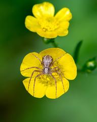 Spider (silwermannen) Tags: spider macro d7100 smörblomma flower sweden sommar spindel anderstorp lövås
