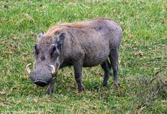 2017.06.20.4153 Warthog in Ngorongoro Crater (Brunswick Forge) Tags: 2017 africa tanzania safari animals travel favorited commented grouped