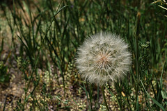 Plant Reproduction (Let Ideas Compete) Tags: dandelion spores