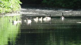 Kanadagans (branta canadensis) im Neuen See im Großen Tiergarten Tiergartenstraße in 10557 Berlin-Tiergarten