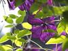 _JB11439 / Clematis (jobocar10) Tags: clematis macromademoiselle
