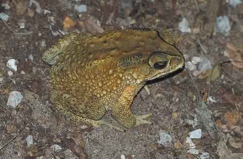 Asian Common Toad, Duttaphrynus melanostictus