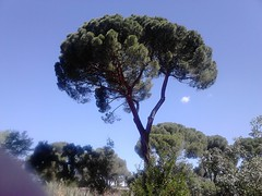 Torres Arias Estate, Madrid. A tiny cloud playing at being the moon, under a pine-nut tree! June 2017 (d.kevan) Tags: trees pinenuttrees pines clouds torrearias parksandgardens madrid spain plants roses flowers june 2017 historichouses historicgardens