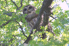 Papa Owl Was Watching From One Tree (Kaptured by Kala) Tags: barredowl strixvaria owl whiterocklake dallastexas nearsunsetbay nocturnal raptor nestingseason malebarredowl birdsofprey hunter predator largeowl treetops hooting