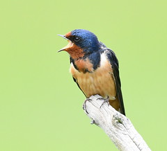 Barn Swallow Singing (KoolPix) Tags: barnswallow swallow bird birdsinging singing beak feathers snag koolpix jaykoolpix naturephotography nature wildlife wildlifephotos naturephotos naturephotographer animalphotographer wcswebsite nationalgeographic fantasticnature amazingnature wonderfulbirdphotos animal amazingwildlifephotos fantasticnaturephotos incrediblenature wildlifephotography wildlifephotographer mothernature