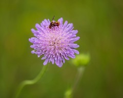 a favorite wild flower by bees (Roland B43) Tags: pink flower bee viroinval belgium