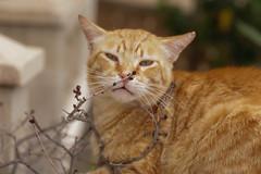 IMG_3505 Rubio, Mallorca (Fernando Sa Rapita) Tags: canon eos6d mallorca rubio sarapita animal cat gatito gato kitten mascota pet canoneos