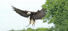1S9A3545 (saundersfay) Tags: hawks saker falcon sea eagle vultures secretary owls prey predator black kites