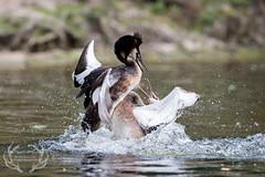 _DSC6775 (Bartek Olszewski) Tags: grebe birds ducks nature nikon nikond4s natureperfectionthernature perkoz wildlifephotography water