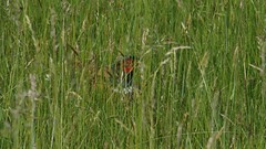 A wary eye (Nick:Wood) Tags: nature wildlife environment bird pheasant phasianuscolchicus baddesleyclinton warwickshire meadow field grass