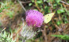 Cirsium horridulum --  Purple Thistle in flower with Cloudless Sulphur butterfly 7107 (Tangled Bank) Tags: silver spring state park marion county florida wild nature natural cirsium horridulum purple thistle flower with cloudless sulphur butterfly 7107