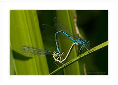 Damsel in distress (prendergasttony) Tags: male female feet coenagrionpuella d7200 tony prendergast outdoors nature wildlife lancashire green leaf blue insect macro wings coenagrion puella