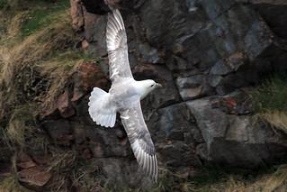 Fulmar in flight