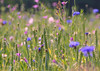 Colourful Cornflowers Field ... (MargoLuc) Tags: cornflowers fiordalisi blue pink wildflowers meadow grass spring bokeh field nature sunlight poetry backlight blooming time