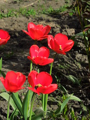 tulips (cloversun19) Tags: garden flower macro tulip tulips bright flowers grass spring summer love story green pink warm romantic beauty glory happy positive blooming blossoming blossom bloom flowering june picture flowerimages image red may summerimage springimage plant onetulip color pollen flowerbed ground 2018 butterfly