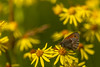 2018-05-26--zones humides0167.jpg (heiserge) Tags: pontàmousson france macro zoneshumides nature butterfly papillon insectes printemps wetlands europe lorraine meurtheetmoselle macrophotographie animal animaux greatphotographers greaterphotographers