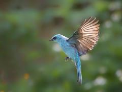 Verditer Flycatcher (f) _ Boluo ☺☺ (mahi mahi 163) Tags: flycatcher 80400mm china