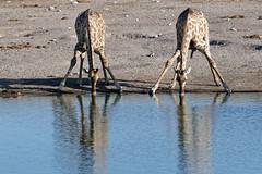 Giraffes in Etosha-5 (johnaalex) Tags: etosha namibia nikonafs80400f4556g d850 giraffe