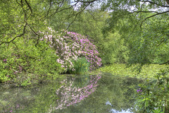 Floral Reflection (ArtGordon1) Tags: eppingforest knightonwood england uk june 2018 sunner trees woodland reflections reflection pond water davegordon davidgordon daveartgordon davidagordon daveagordon artgordon1 rhododendron rhododendrons