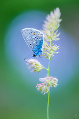 Blue within blue... (der LichtKlicker) Tags: garten2018 garden blue baden breisgau schmetterling butterfly insect insects insekt makro macro closeup lichtklicker fujifilm fuji pflanze plant wiese meadow sitting spring frühling afternoon xt2 xf80mm