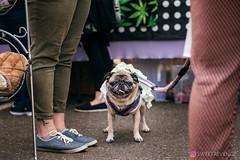 PugCrwal-194 (sweetrevenge12) Tags: portland oregon unitedstates us pug parade crawl brewing sony pugs dog pet