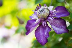 clematis 7052 (junjiaoyama) Tags: japan flower clematis plant spring purple bokeh