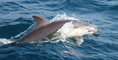 Dolphin display (lifeonnosense) Tags: commondolphins dolphins marine sealife atlanticocean mammal water seaspray ocean wales smile makesmesmile worldtrekker