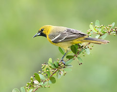 Orchard Oriole (Elizabeth Wildlife) Tags: orchard oriole bird spring