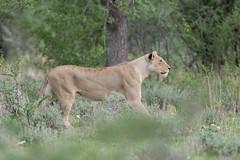 Lioness. (annick vanderschelden) Tags: lionesses lion lioness cat mammal wildlife animal nature savannah bush grassland southernafricanlionesses etoshanationalpark grass trees africa southernafrica female namibia