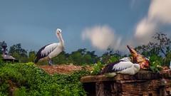 Pelican - 5285 (YᗩSᗰIᘉᗴ HᗴᘉS +17 000 000 thx) Tags: pelican bird pairidaiza zoo hensyasmine namur belgium europa aaa namuroise look photo friends be wow yasminehens interest intersting eu fr greatphotographers lanamuroise tellmeastory flickering