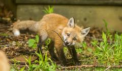 IMGL1413 Pugwash Red Fox Kit(s) (Wallace River) Tags: foxes novascotia pugwashfoxes redfoxes