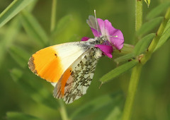 Orange - tip Butterfly by Linda Nicholson (P&L Nicholson Photography) Tags: orangetip butterfly scientific name anthocharis cardamines male