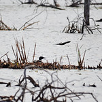 Nesting Common Loon thumbnail