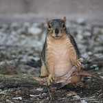 Squirrels in Ann Arbor at the University of Michigan (June 6th and 7th, 2018) thumbnail
