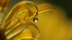 Qui si frotte , si pique ! (Callie-02) Tags: profondeurdechamp lumière bokeh pétales détails canon printemps extérieur jardin macrographie macro couleurs reflets réflexion yellow fleur jaune eau perle goutte drop